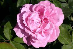 Historische Rose 'Mrs.John Laing'