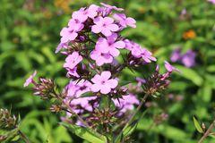 Hohe Flammenblume 'Lilac Time'