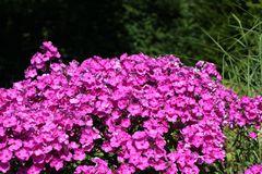Hohe Flammenblume 'Purple Rain'