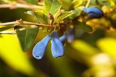 Honigbeere / Sibirische Blaubeere 'Myberry ® Farm'