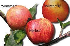 Familienbaum Apfel - 3 verschiedene Sorten
