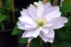 Clematis 'Dancing Queen'