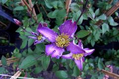 Clematis 'Exciting'