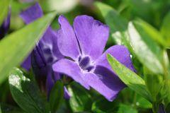 Immergrün 'Grüner Teppich'