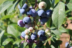 Immergrüne Heidelbeere 'Sunshine Blue'