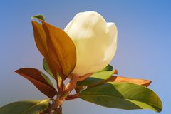 Immergr�ne Magnolie 'Galissoniere'