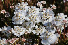 Immergrüne Schleifenblume 'Fischbeck'