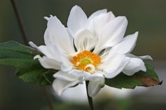 Japan-Herbst-Anemone 'Whirlwind'