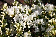 Japanische Azalee 'Diamant Weiß' ®