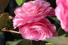 Japanische Kamelie rosa