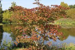 Japanischer Ahorn / Eisenhutblättriger Ahorn 'Aconitifolium'