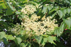 Japanischer Angelicabaum / Teufelskrückstock