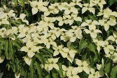Japanischer Blumen-Hartriegel 'Big Apple'