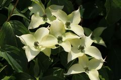 Japanischer Blumen-Hartriegel 'Bultinck's Giant Flower'