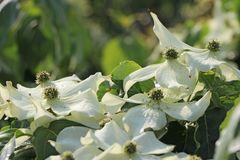 Japanischer Blumen-Hartriegel 'Cherokee'
