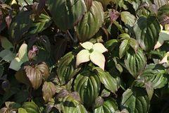 Japanischer Blumen-Hartriegel 'Ed Mezitt'