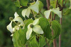 Japanischer Blumen-Hartriegel 'Eva's Beauty'