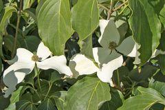 Japanischer Blumen-Hartriegel 'Galilean'