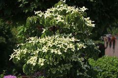 Japanischer Blumen-Hartriegel 'Greensleeves'
