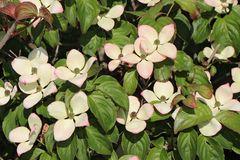 Japanischer Blumen-Hartriegel 'Heart Throb'