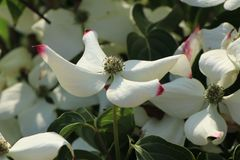 Japanischer Blumen-Hartriegel 'John Slocock'