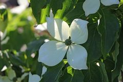 Japanischer Blumen-Hartriegel 'Kreuzdame'