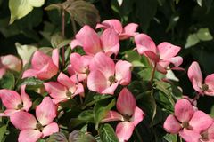 Japanischer Blumen-Hartriegel 'Satomi Compact'