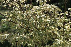 Japanischer Blumen-Hartriegel 'Silver Pheasant'