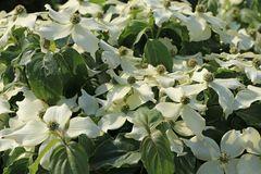 Japanischer Blumen-Hartriegel 'Snow Flurry'