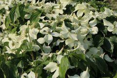 Japanischer Blumen-Hartriegel 'Snowflake'