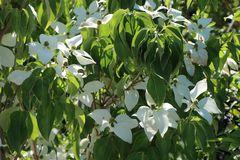 Japanischer Blumen-Hartriegel 'Temple Jewel'