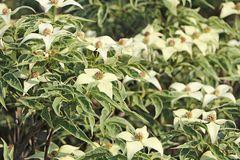 Japanischer Blumen-Hartriegel 'Teresa'