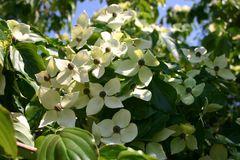 Japanischer Blumen-Hartriegel 'Teutonia'