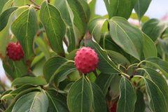 Japanischer Blumen-Hartriegel 'Trinity Star'