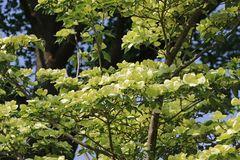 Japanischer Blumen-Hartriegel 'Venus' ®