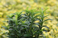 Japanischer Spindelstrauch / Kriechspindel 'Green Empire' ®