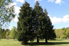Kalifornischer Berg-Mammutbaum