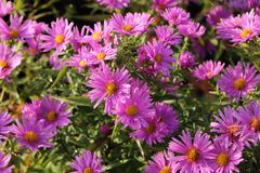 Kissen-Aster 'Peter Harrison'