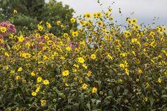 Kleinblumige Sonnenblume
