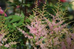 Kleine Prachtspiere 'Inshriach Pink'