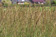 Kleines Pfeifengras 'Heidebraut'