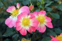 Kleinstrauchrose Bienenweide® Bicolor