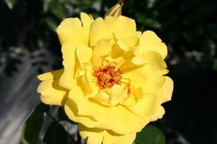 Kletterrose 'Golden Showers' �