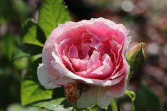 Kletterrose 'Kir Royal' ®