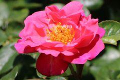 Kletterrose 'Paul's Scarlet Climber'