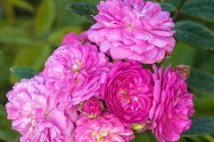 Kletterrose 'Perennial Rosali ®'