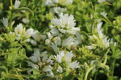 Knäuel-Glockenblume 'Alba'
