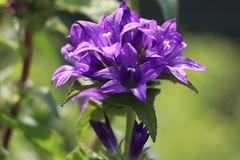 Knäuel-Glockenblume 'Bellefleur Blau'