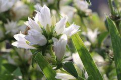 Knäuel-Glockenblume 'Bellefleur Weiss'