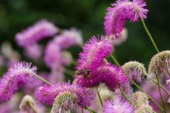 Koreanischer Wiesenknopf 'Pink Brushes'